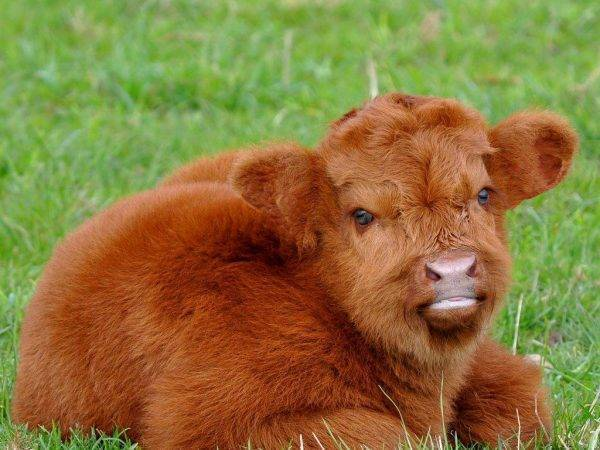 О породах комолой коровы (описание и характеристики безрогих коров)