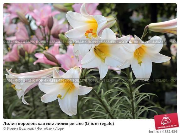 Лилия регале
