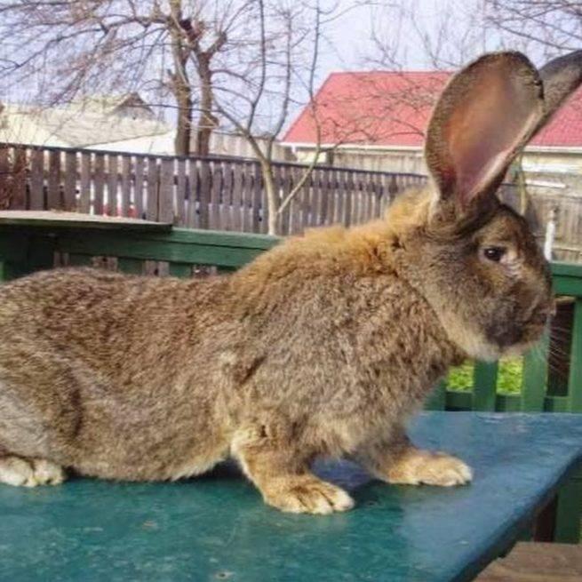 Кролики фландры: описание, выбор, уход, размножение