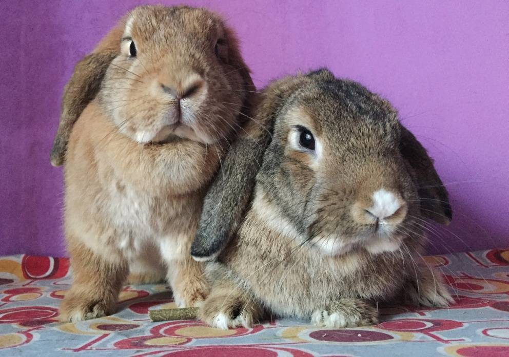Как определять пол кроликов: как отличить крола от крольчихи, в каком возрасте