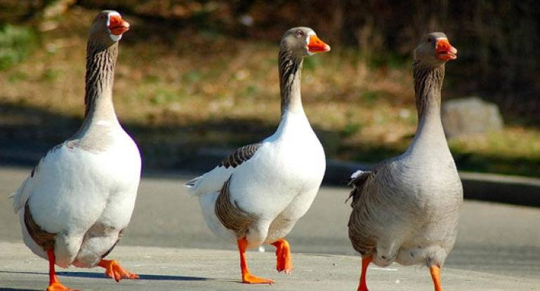 Почему месячные гусята падают на ноги или у них разъезжаются лапки