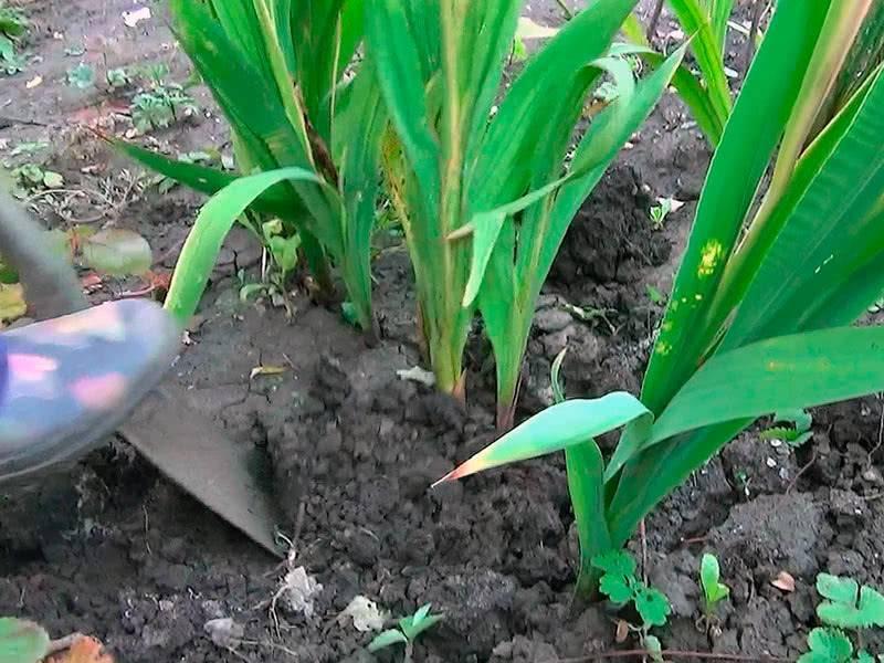 Когда выкапывать гладиолусы осенью и как хранить гладиолусы после выкопки | красивый дом и сад