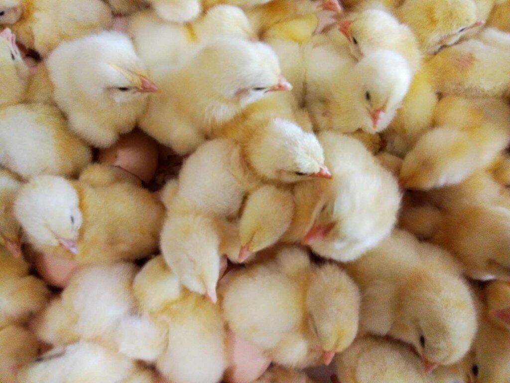 Цыплята бройлеры: особенности, перспективы и советы по выбору современного метода выращивания (105 фото)