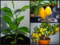 Апельсиновое дерево (фото). как вырастить апельсиновое дерево из косточки в домашних условиях?