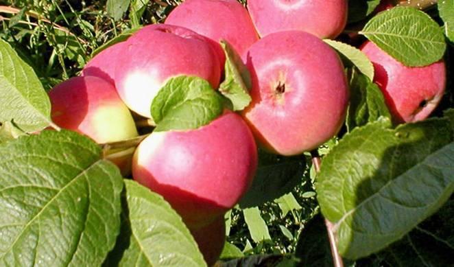 Яблоня золотое летнее: описание сорта, посадка, уход, болезни и вредители, а также фото