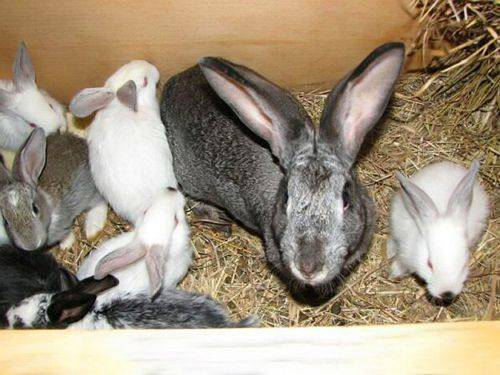 Лечим чумку у кроликов – опасные симптомы