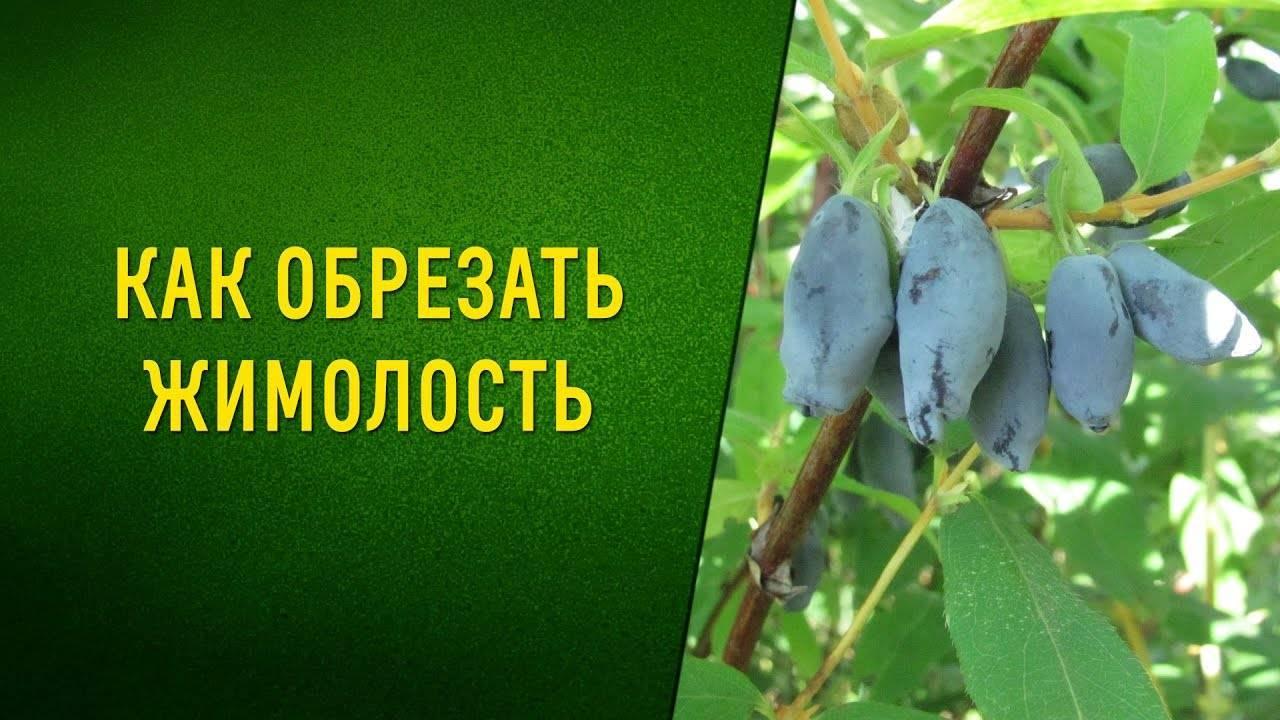 Как омолодить жимолость и продолжать получать хороший урожай ранних ягод