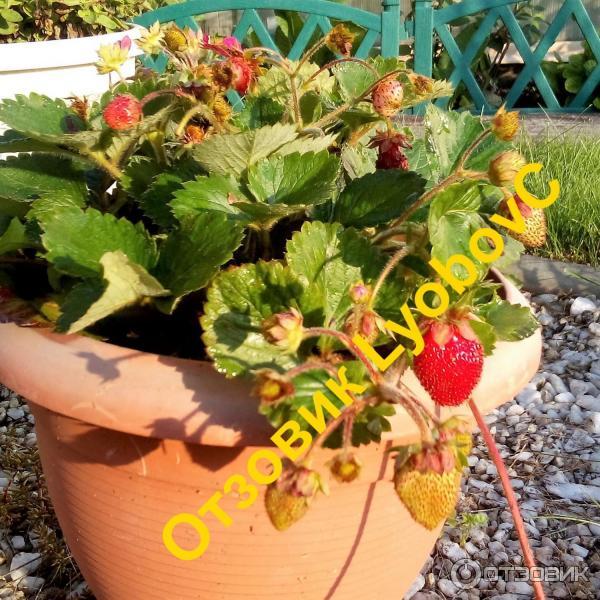 Описание и характеристики сорта клубники тоскана, правила выращивания