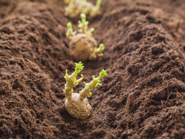 Картофель романо: характеристика сорта и особенности выращивания