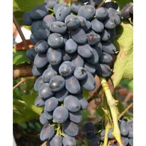 Сорт винограда кишмиш круглый