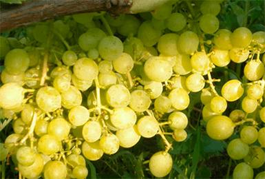 Характеритика и описание винограда «алешенькин»