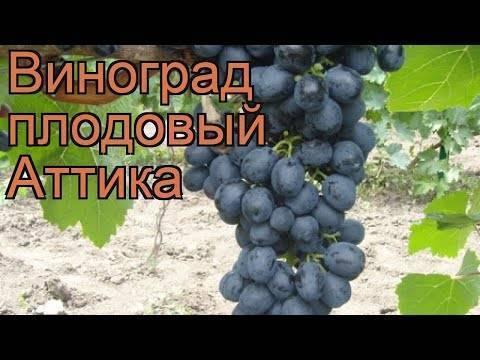 Виноград аттика (attica) - бессемянный сорт винограда