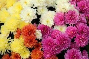 Как сохранить хризантемы зимой? нужно ли выкапывать их перед зимовкой? подготовка зимующих хризантем в открытом грунте