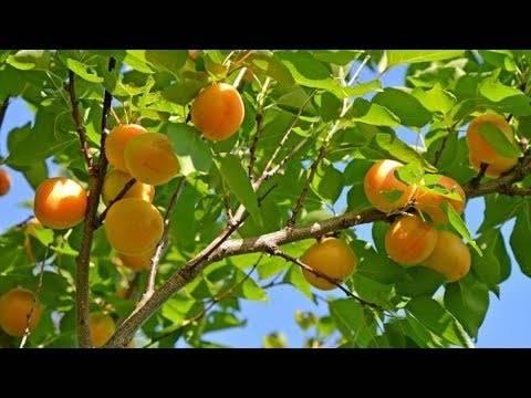 Правильная посадка абрикоса в грунт