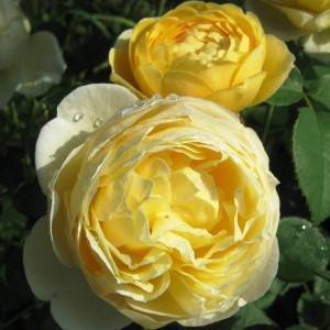 Роза шарлотта энциклопедия роз