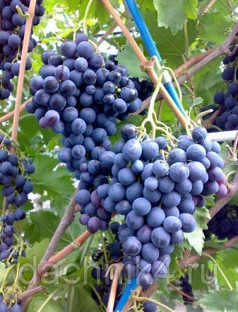 Сорт винограда страшенский – ягодный гость из солнечной молдовы