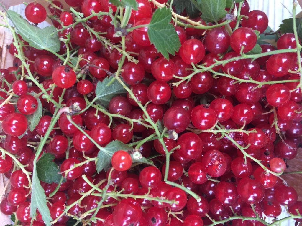 Кроваво-красная смородина: характеристики декоративного кустарника и особенности выращивания
