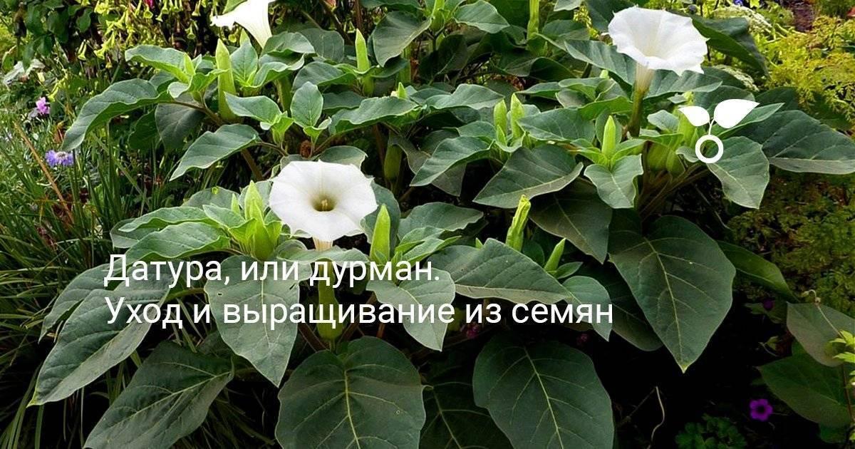 Мезембриантемум