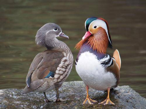 Утки мандаринки — внешний вид и среда обитания