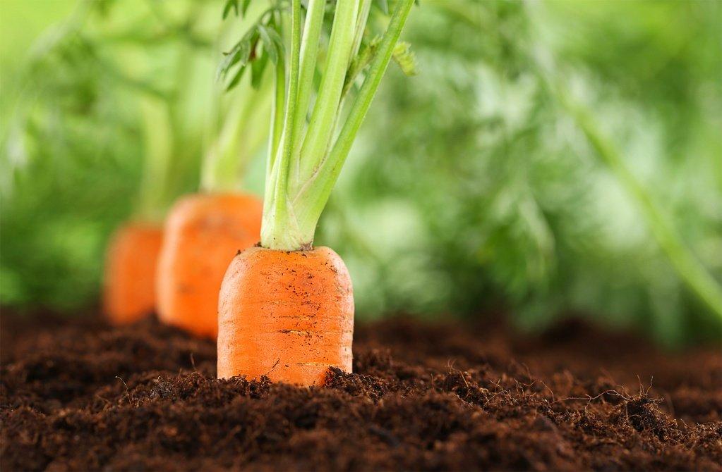 Морковь через рассаду: как выглядит посевной материал на фото, можно ли использовать этот способ выращивания, а также когда и как помещать всходы в открытый грунт?