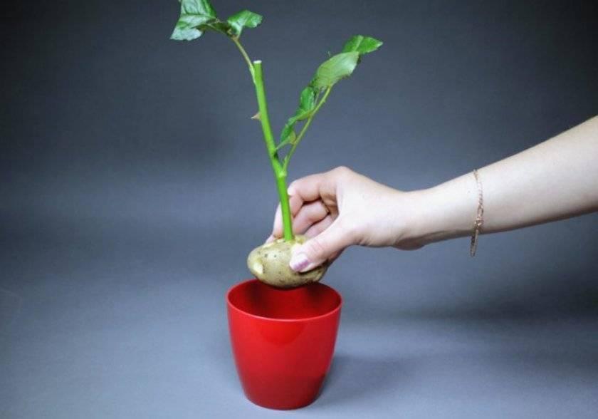 Как посадить розу из букета в картошке