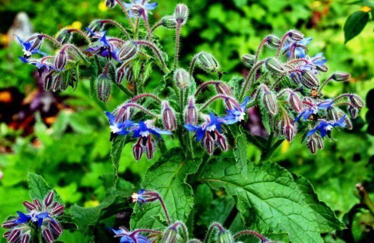 Огуречная трава — полезные свойства, противопоказания, применение
