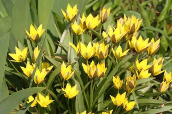 Клубнелуковичные растения: фото клубневых садовых цветов-многолетников и названия многолетних клубневых растений