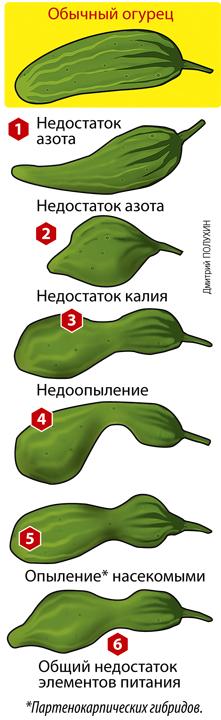 Чего не хватает огурцам, или почему огурцы растут кривыми