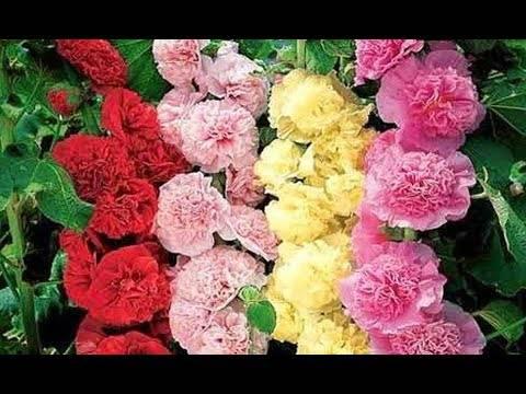 Шток-роза: посадка, уход и размножение