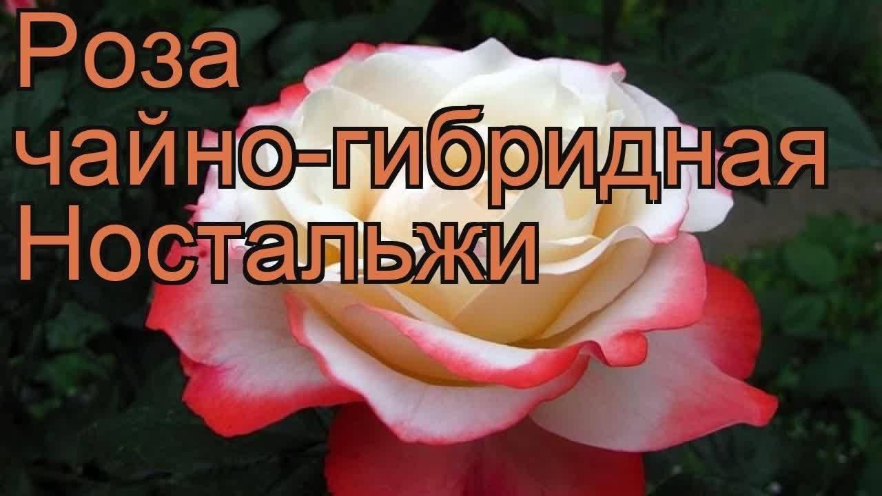 Сортовые характеристики и выращивание двухцветной розы ностальжи