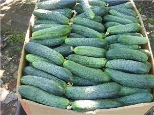 Огурец седрик f1: преимущества и недостатки гибрида, особенности выращивания