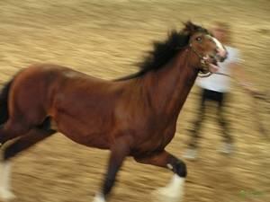 Лошадь Битюг: породы тяжеловозных, ломовых русских (советских) лошадей
