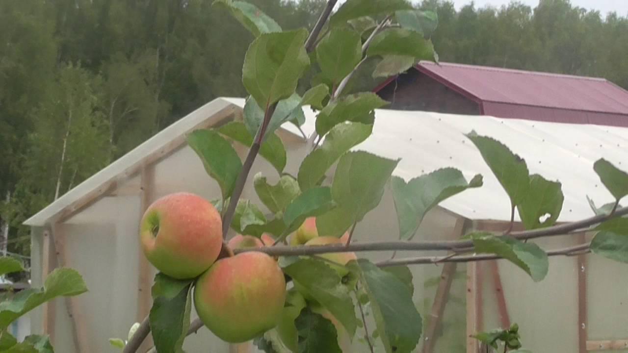 Описание сорта яблок слава победителям