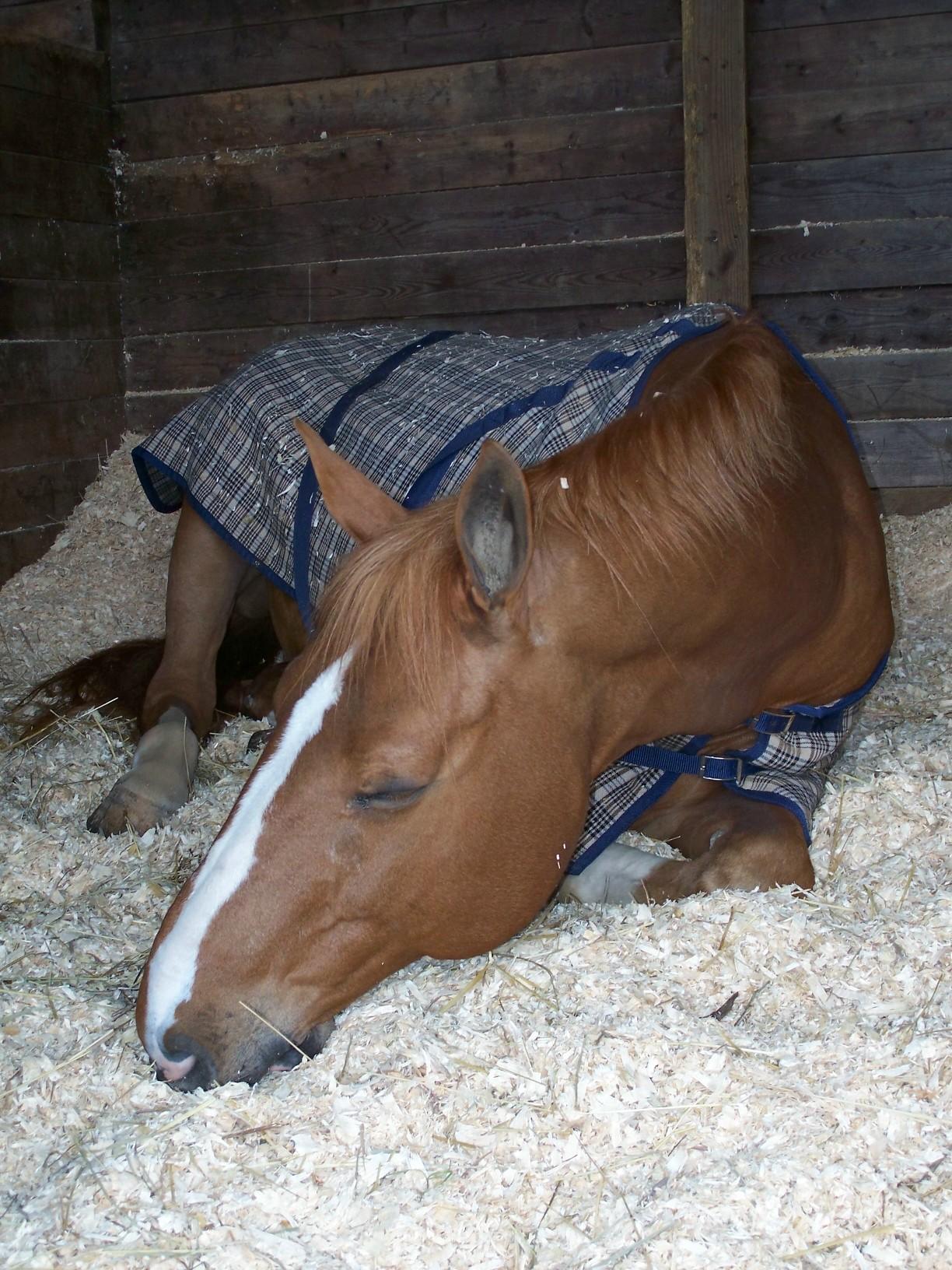 Как обычно спят лошади?