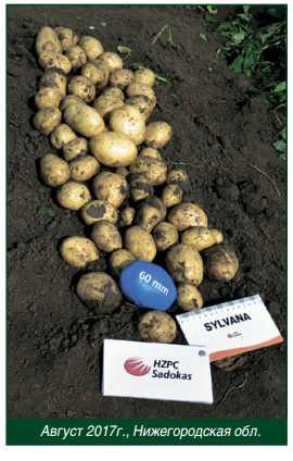Картофель чёрный принц: описание и выращивание сорта