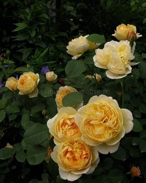 Роза леди эмма гамильтон (lady emma hamilton) — описание сорта