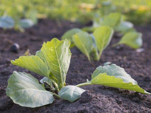 О высадке капусты в грунт в Сибири: когда высаживать в открытый грунт весной