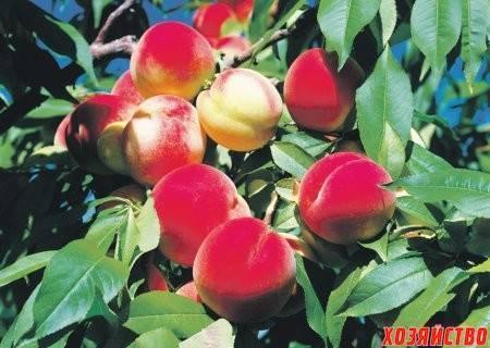 Персик - выращивание и уход. посадка, подкормка, обрезка!