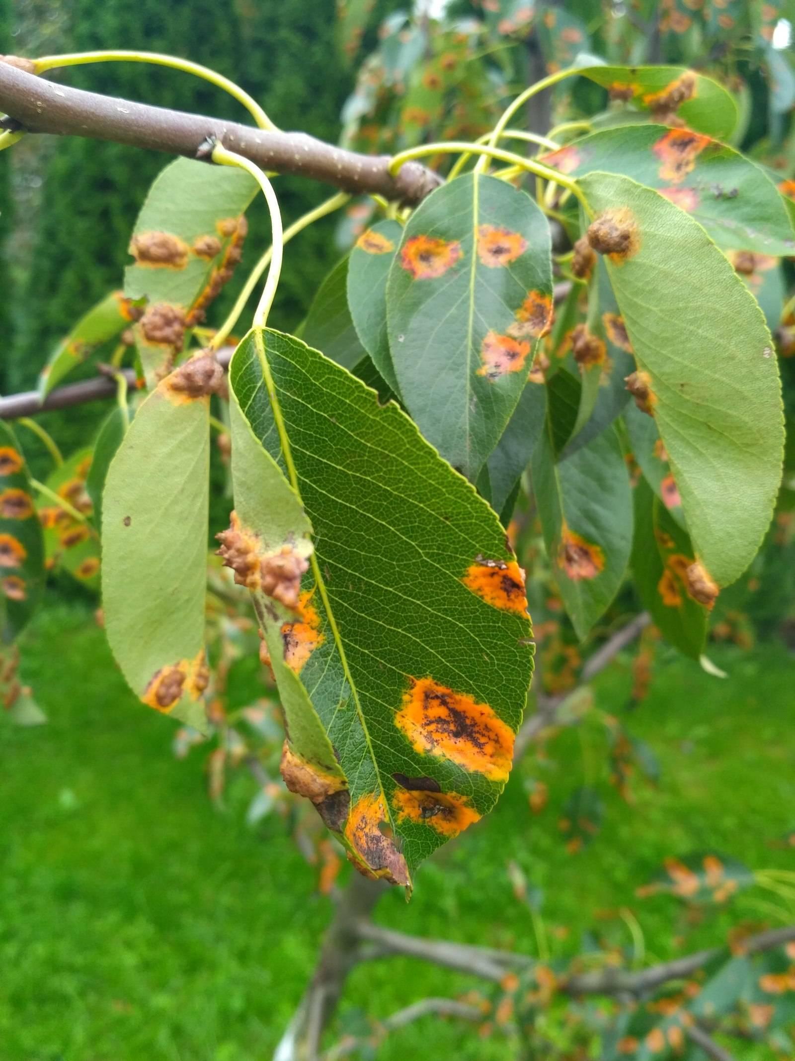 Симптомы и причины, почему чернеют листья у груши,как лечить