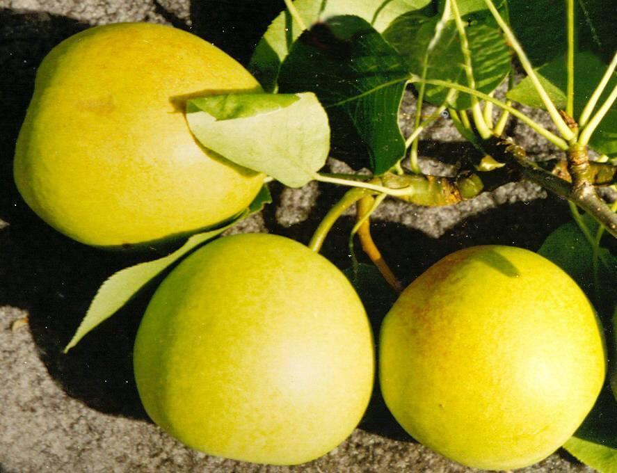 Ботаническое описание и особенности выращивания на участке груши сорта гера