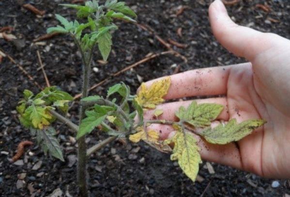 Выращивание рассады огурцов в домашних условиях и на огороде: как и чем подкормить