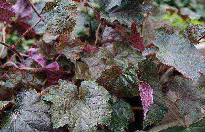Цветок гейхера - виды, сорта, выращивание и уход