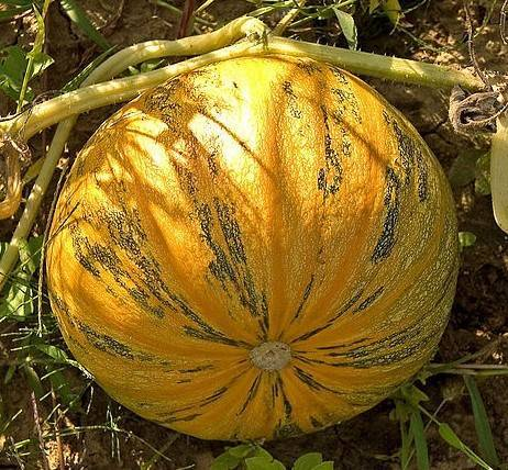 Тыква выращивание агротехника