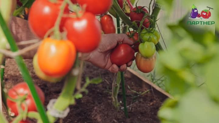 Популярные сорта томатов для открытого грунта и теплиц