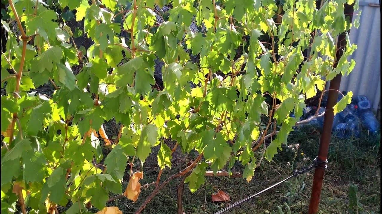 Как сажать виноград в подмосковье: особенности посадки и ухода для данного региона