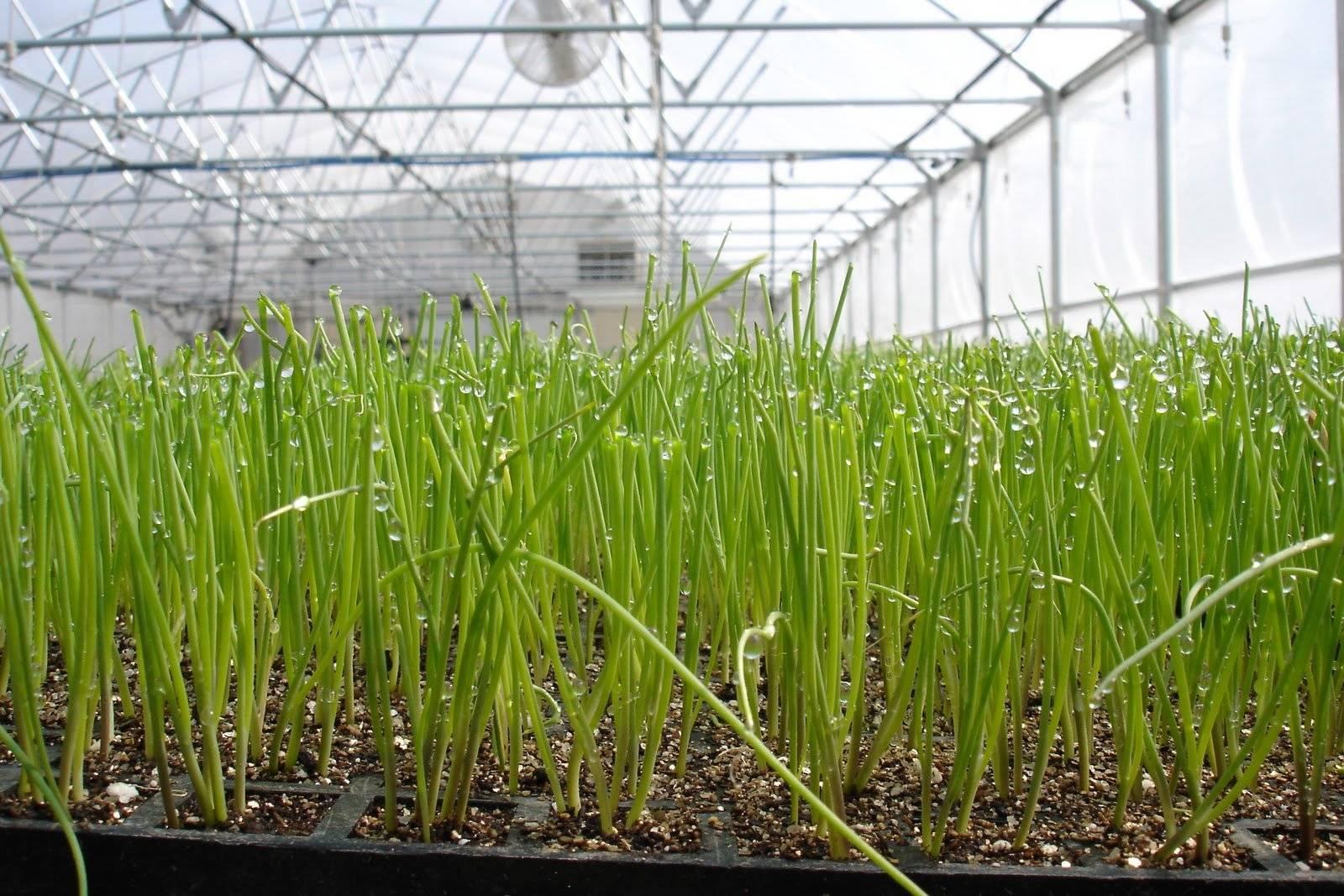 Как посадить лук на зелень весной в открытом грунте и теплице. выращивание лука на зелень в теплице