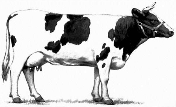 Отличительные черты холмогорской породы коров