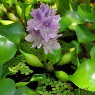 Эйхорния: описание водяного гиацинта, особенности его разведения в пруду и аквариуме