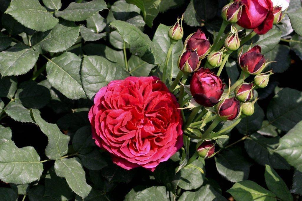 Роза флорибунда herzogin christiana (герцогиня кристиана) | о розе