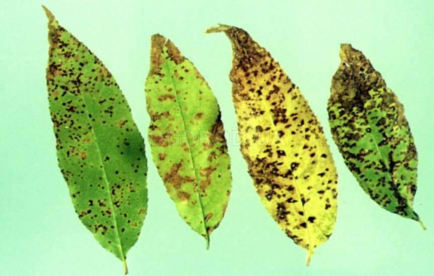 Устойчивые к заболеваниям вишни